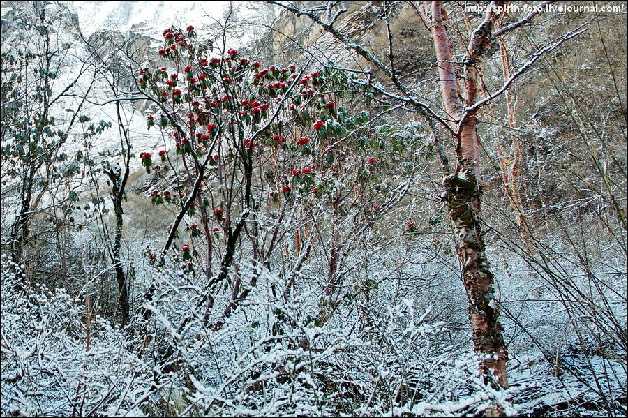 _DSC9072 рододендроны в снегу