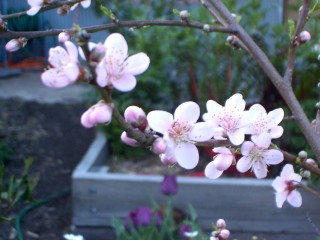 White nectarine in bloom.