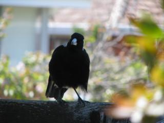 Local magpie.