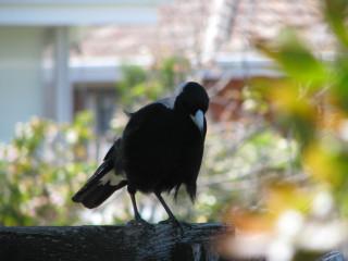 Local Magpie
