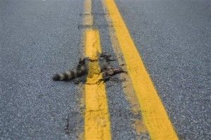 dead yellow raccoon in pa