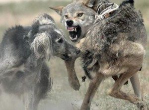 Волки, овцы и волкодавы