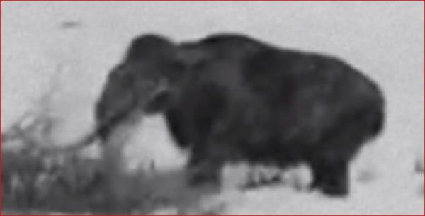 Мамонт в документальной съёмке немецкого солдата в Сибири