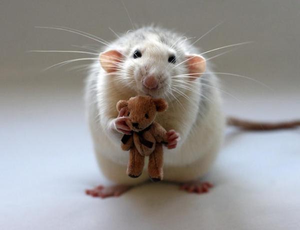 Крысы декоративные и   товары для грызунов