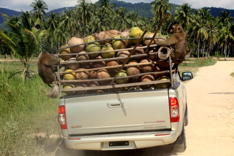 Мартышкин труд. Как обезъяны собирают кокосы.