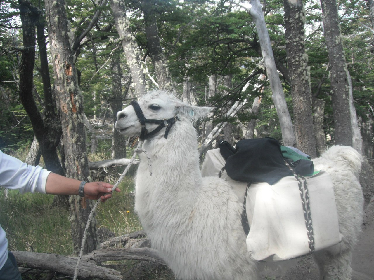 Аргентина 27.02.2012 лама