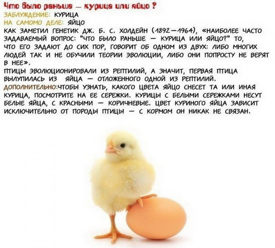 the chicken question essay