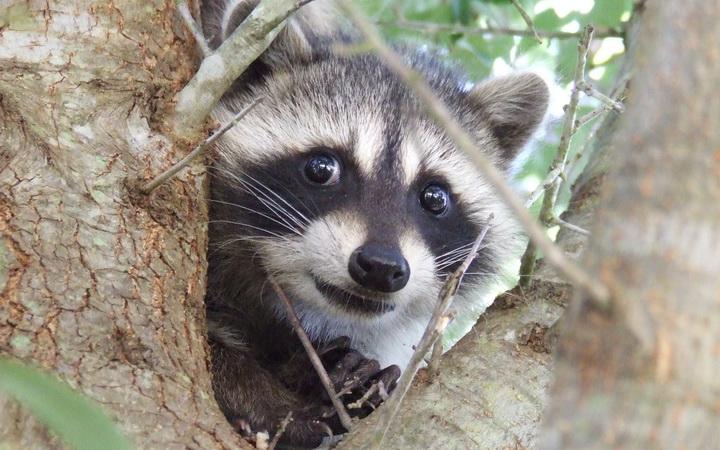 8888abstol_net_raccoons_03