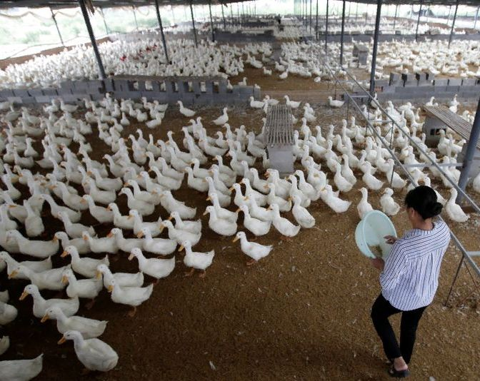 Утиная ферма в китайской провинции Шаньдун