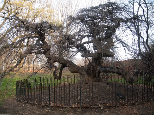 The Camperdown Elm