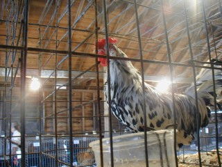 Prize Poultry