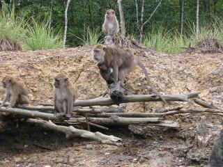обезьяны на мангровых берегах