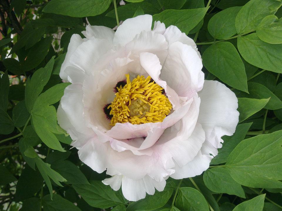 Древовидный пион, первый цветок на кусте.