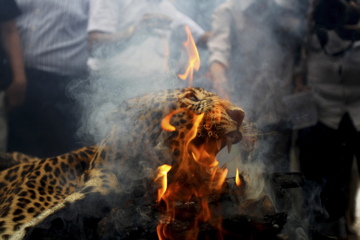 July 30, 2013. A leopard skin burns as Indian officials and activists burn wildlife contraband including tiger and leopard skins, and bones as part of a campaign to save the tiger in Mumbai