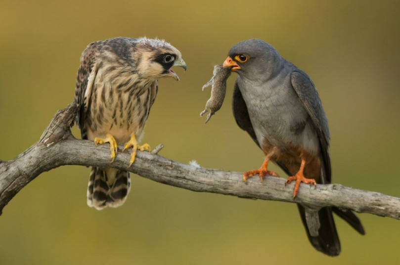 A male red-footed falcon (Falco vespertinus) offering small mammal prey to female, Hortobagyi National Park, Hungary