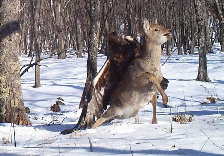 Беркут схватил пятнистого оленя