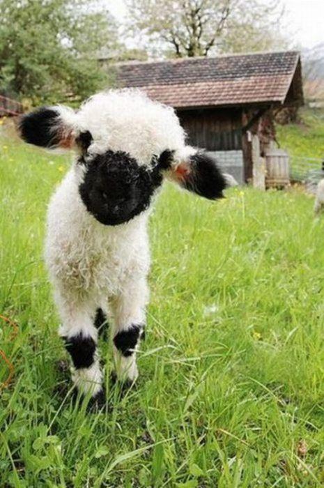 Малыш Valais Blacknose Sheep