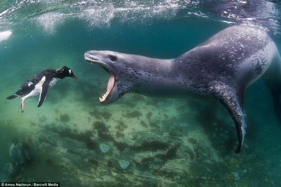 Пингвин и морской леопард