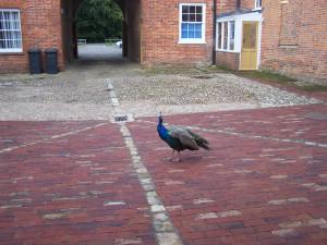 Peacocks 041012 (3)