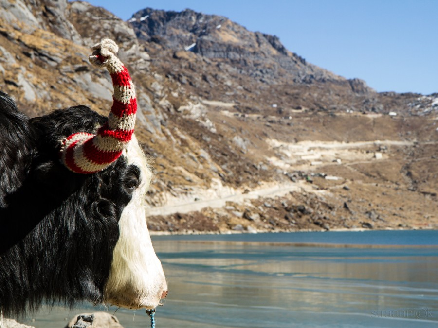 Як на ледниковом озере Цонгмо в Восточном Сиккиме, Индия. Yak near the glacial Tsongmo Lake in the East Sikkim, India