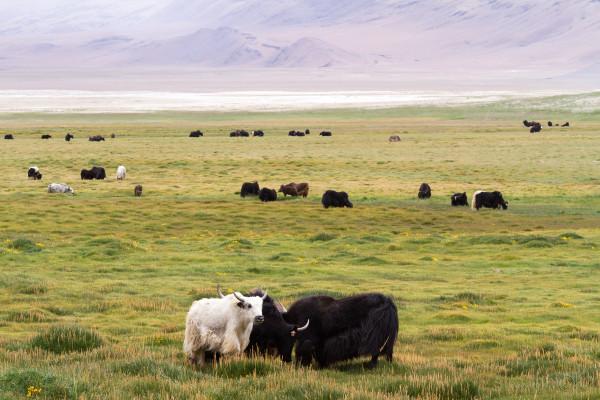 Яки в окрестности горного озера Цо Кар, Гималаи, Ладакх, Индия (Yaks near the Tso Kar lake. Himalayas, Ladakh, India)