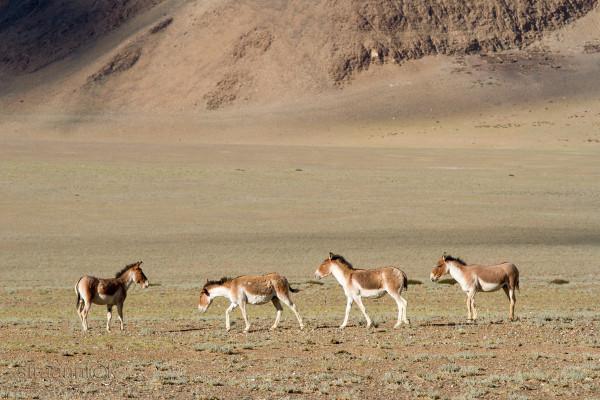 Кианги в окрестности горного озера Цо Кар, Ладакх, Индия (Kiangs near the Tso Kar lake. Ladakh, India)