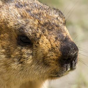 Гималайские мармоты из провинции Ладакх (Индия). Marmots from the Ladakh (India)
