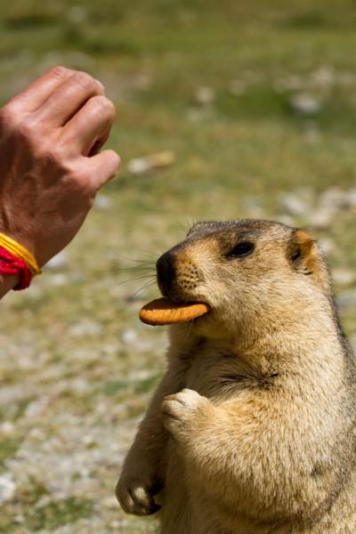 Мармот из провинции Ладакх (Индия). Marmot from the Ladakh (India)