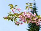 Сакура в День Победы! Sakura on Victory Day