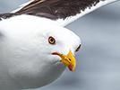 Чайки Белого моря. White Sea Gulls