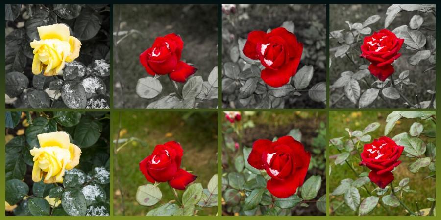 цветы, розы, подснежники, снег, зима, flowers, roses, snowdrops, snow, winter, collage