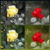 Roses, premonition of winter. Подснежники. Предчувствие зимы