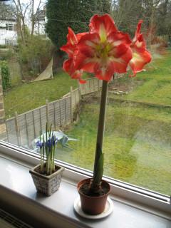 Amarylis and irises