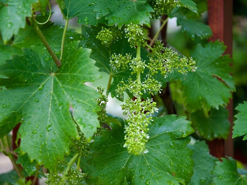 2014_May_grape