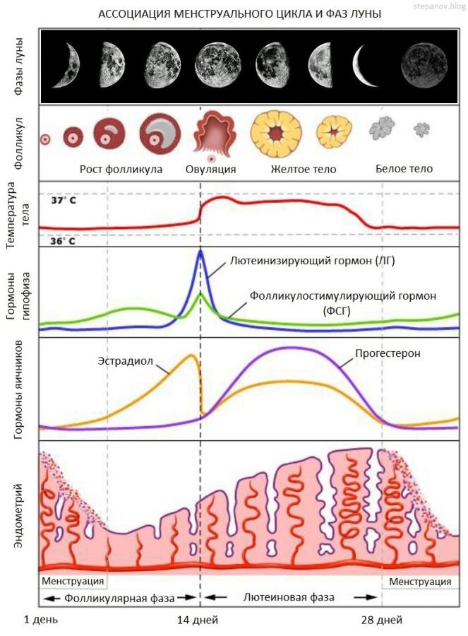 Менструальный-цикл-1