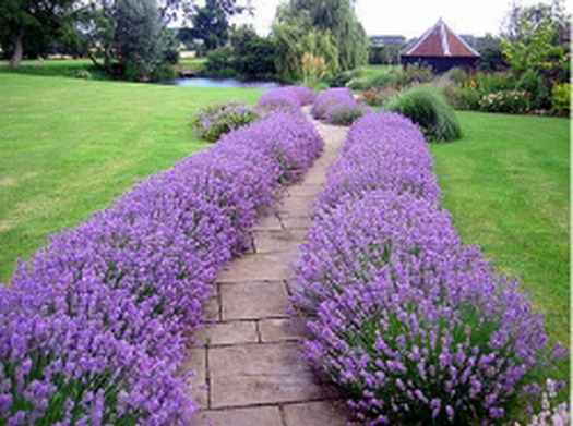 garden-path-lavender-Design