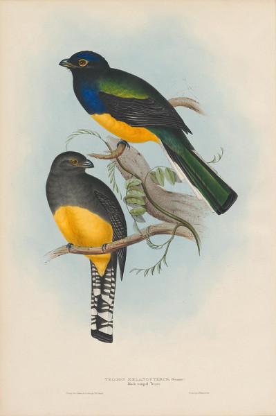 Trogon melanopterus (Black-winged Trogon)