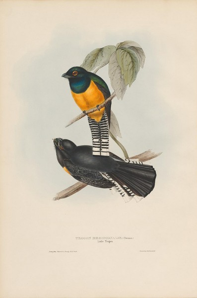 Trogon meridionalis (Little Trogon)