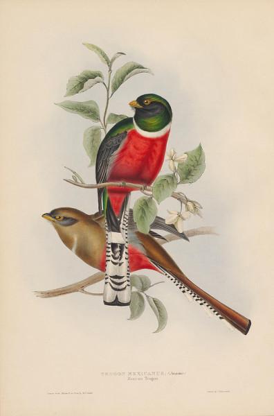 Trogon mexicanus (Mexican Trogon)