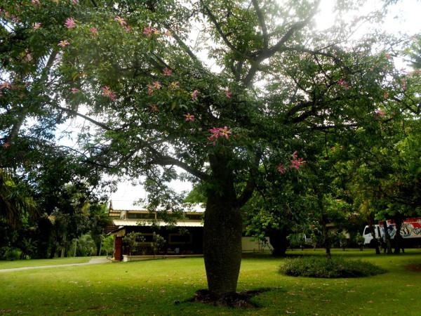 Беременное дерево