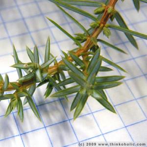 juniperus communis 090109-143331