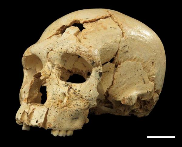 crania