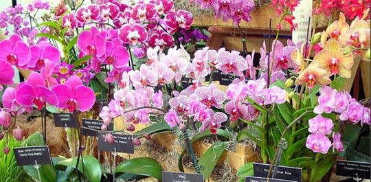 Орхидея фалнопсис