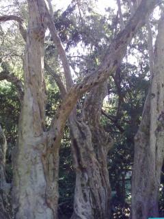 Никитский ботсад. Оливковое дерево