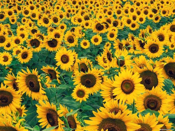 Sunflower3474359