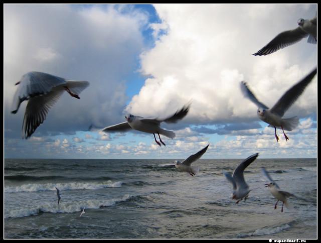 Балтийские чайки.