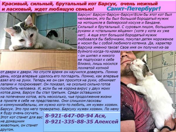 Санкт-Петербург! Красивый, сильный кот Барсук, очень нежный и ласковый, ждет любящую семью!
