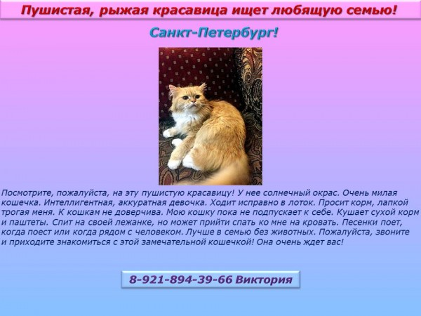 Санкт-Петербург! Пушистая, рыжая красавица ищет любящую семью!