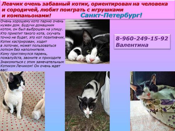 Санкт-Петербург! Левчик очень забавный котик, ориентирован на человека и сородичей, любит поиграть
