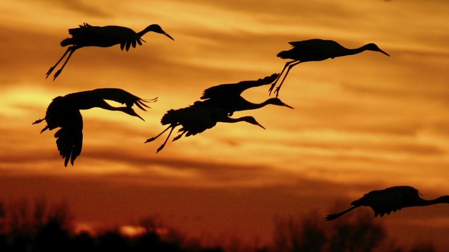 Nebraska-sandhill-cranes-in-flight-ThinkstockPhotos-139671718_1000by714.jpeg